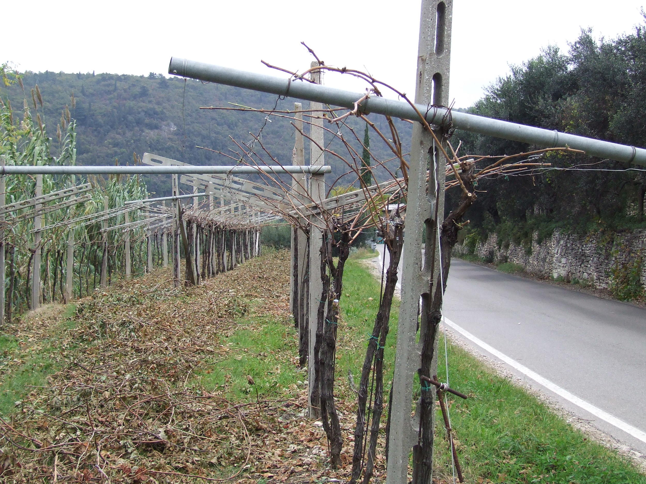 Traditional Pergola Veronese After Pruning