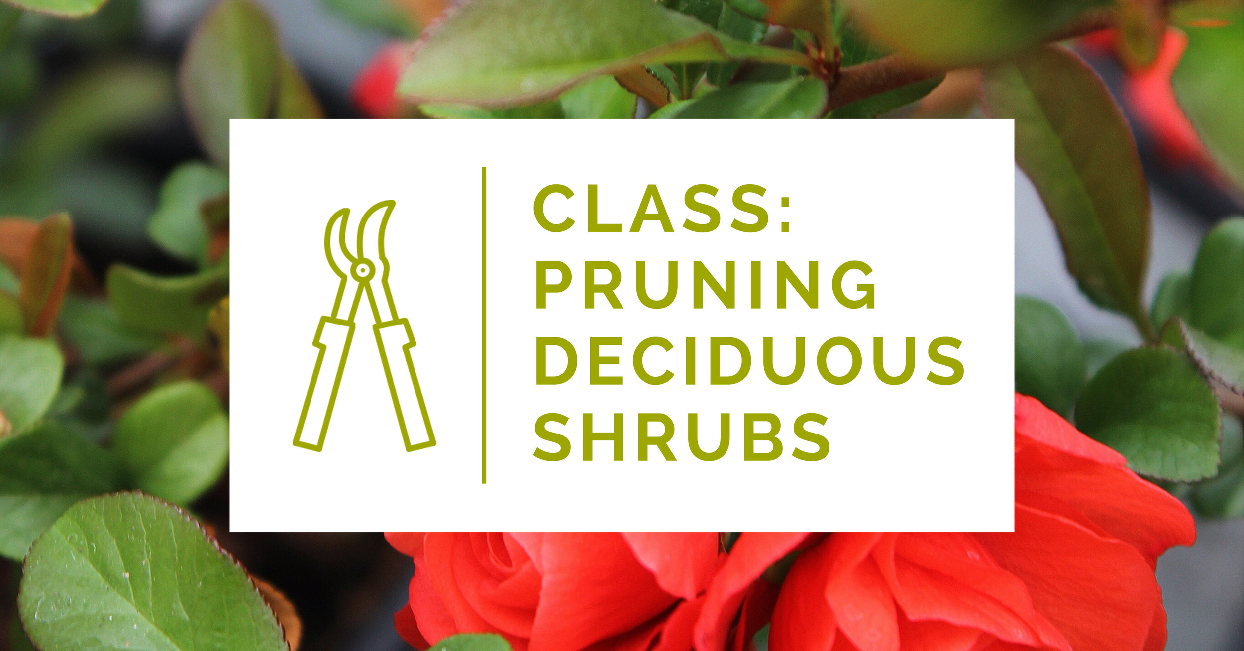 pruning deciduous shrubs.jpg