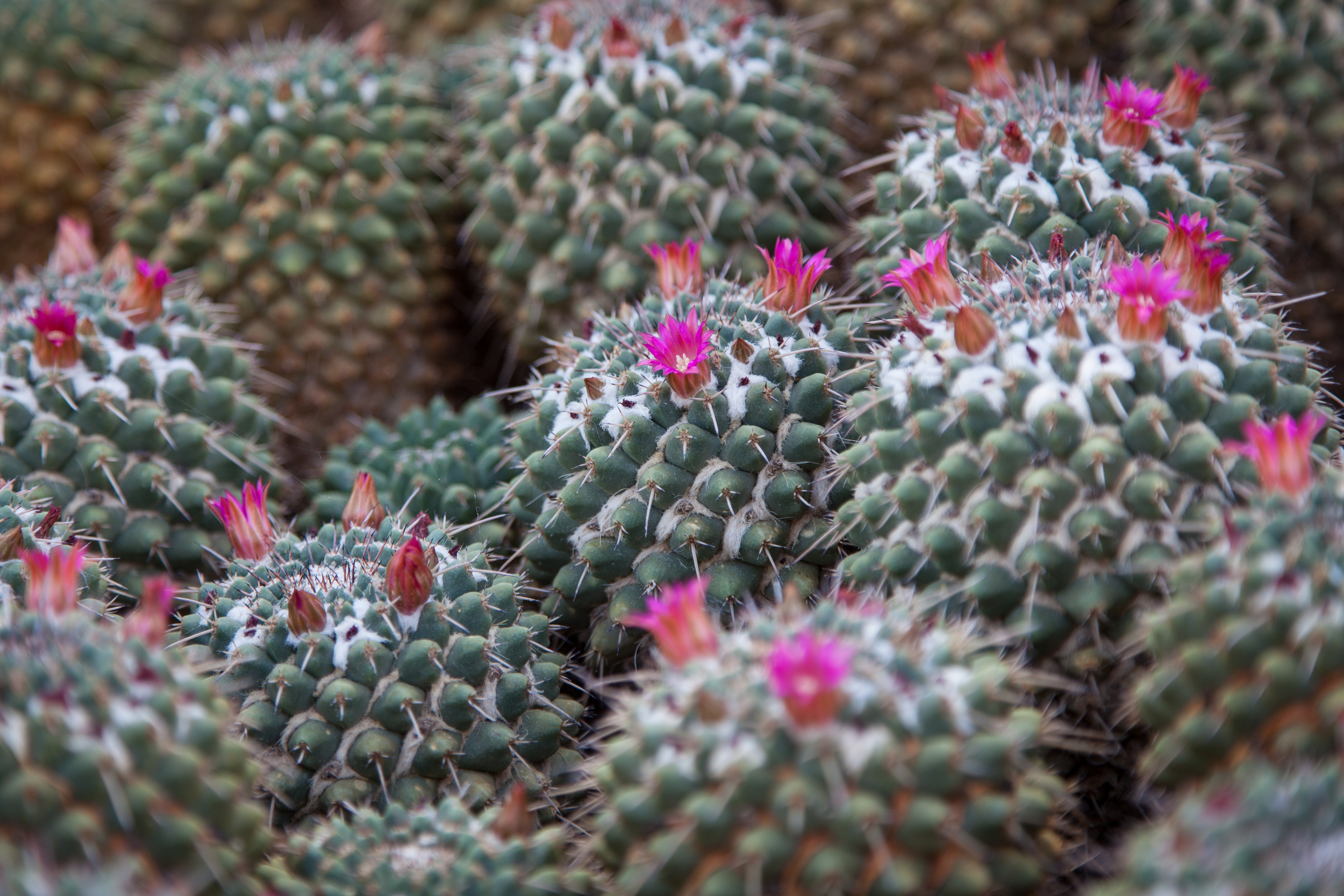 Found these miniature cacti with tiny blooms....trying to show the big boys.