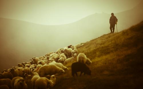 shepherd-sheep-12.jpg