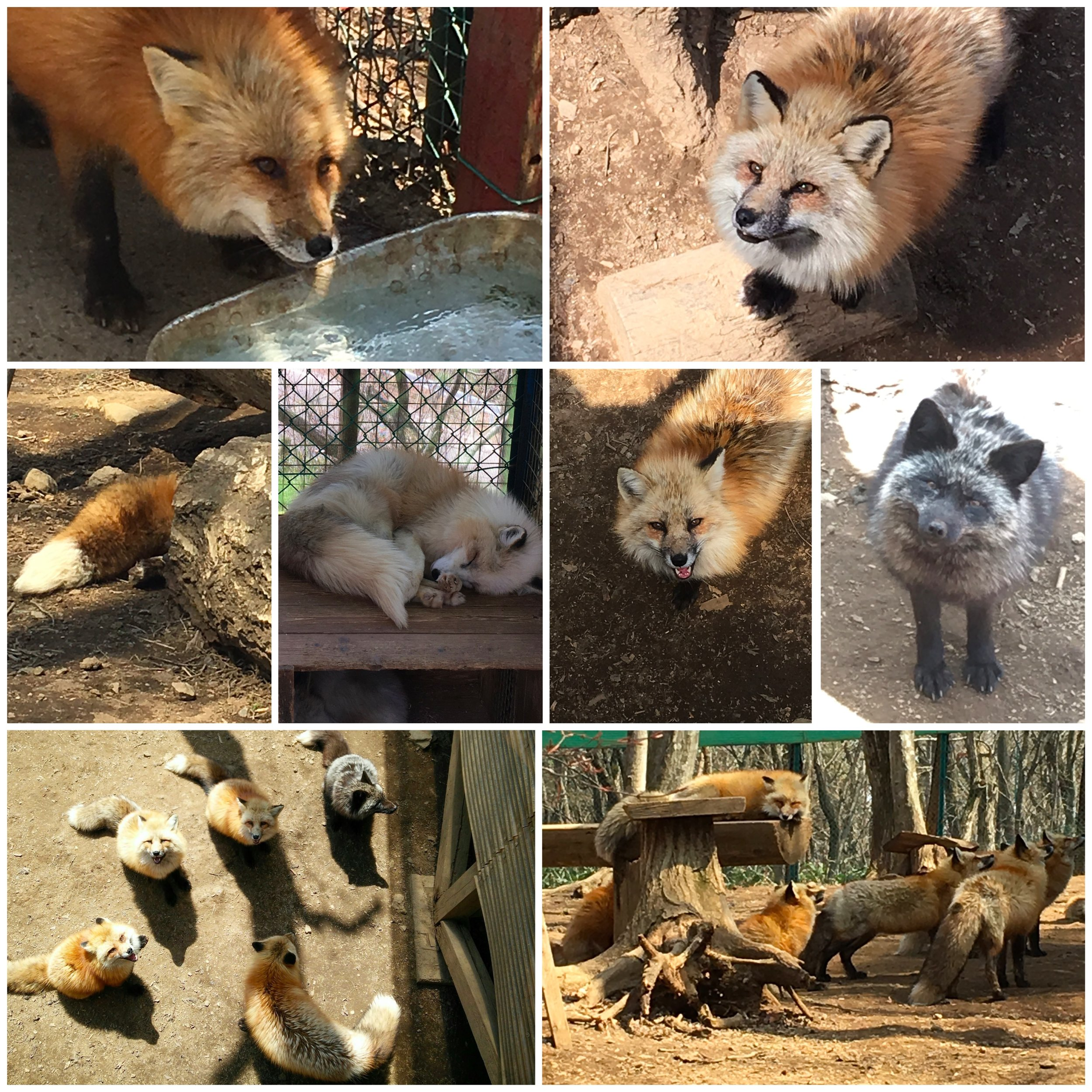 Foxes and more foxes
