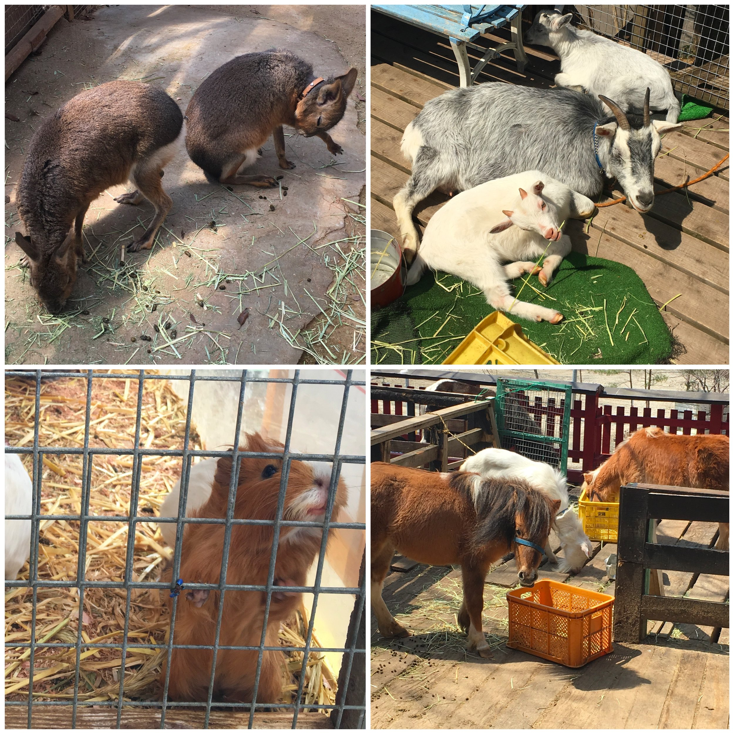 Clockwise from top left: Patagonian Mara, goats, two horses and a pretend horse, diva guinea pig.
