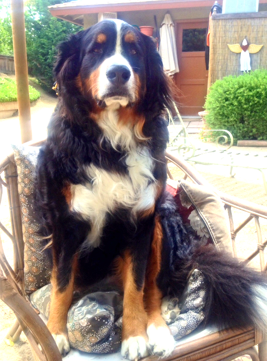 Sadie, the Bernese Mountain Dog continues to believe she is human.145lbs