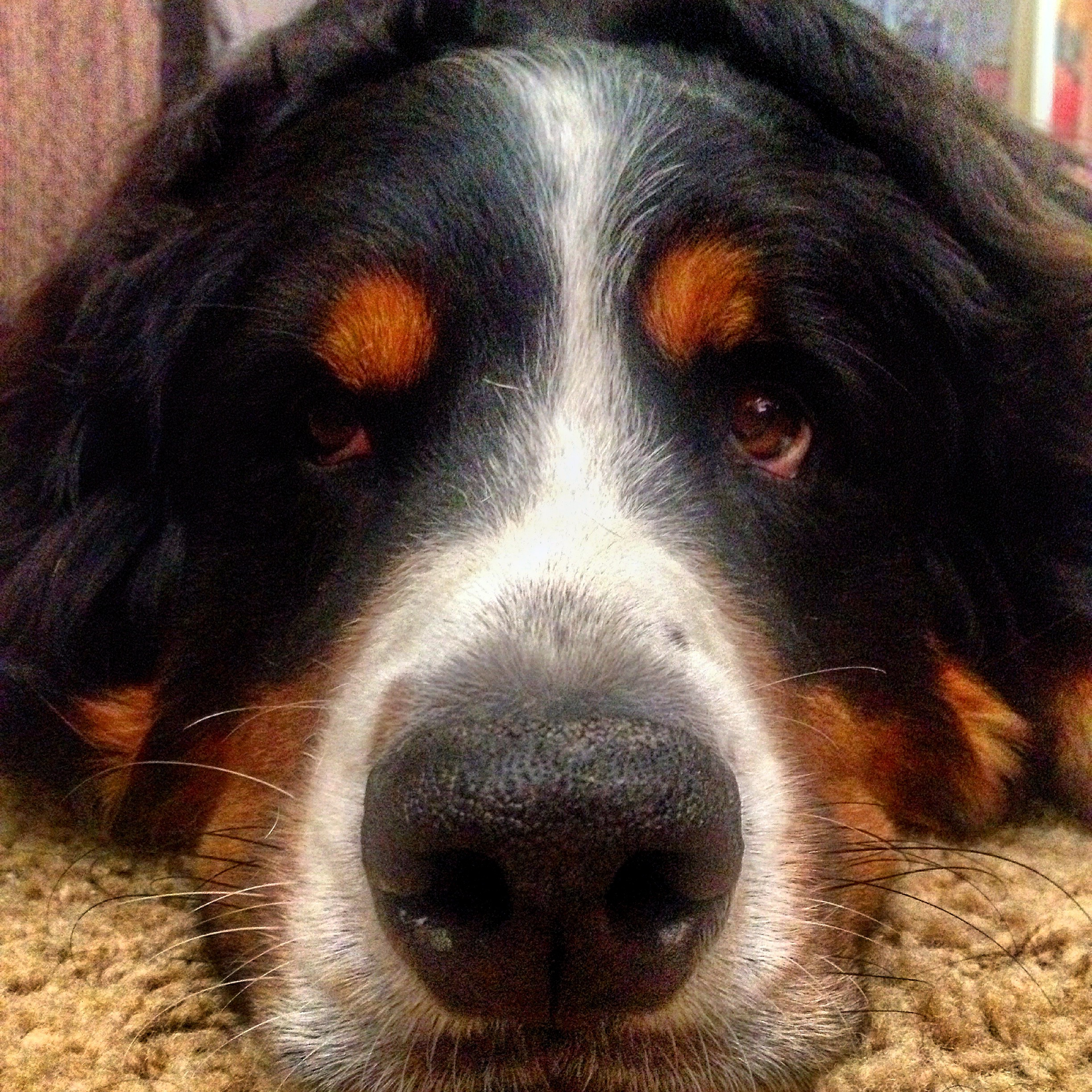 Sadie the Bernese Mountain Dog is always ready to love anyone who walks in the door.