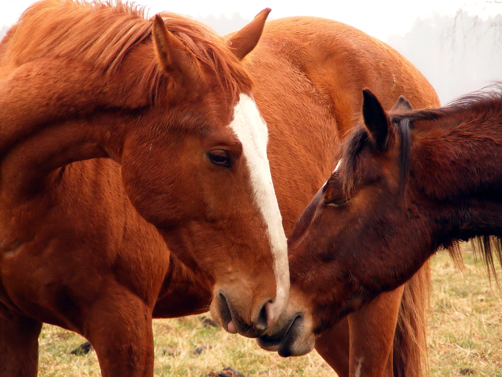 bigstock-Two-horses-nuzzling-each-other-34677842.jpg