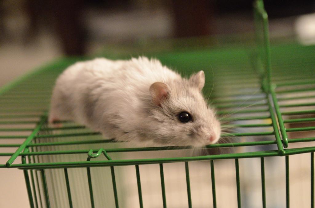 Charlie, the Hamster