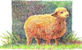 Scribed-Sheep.jpg