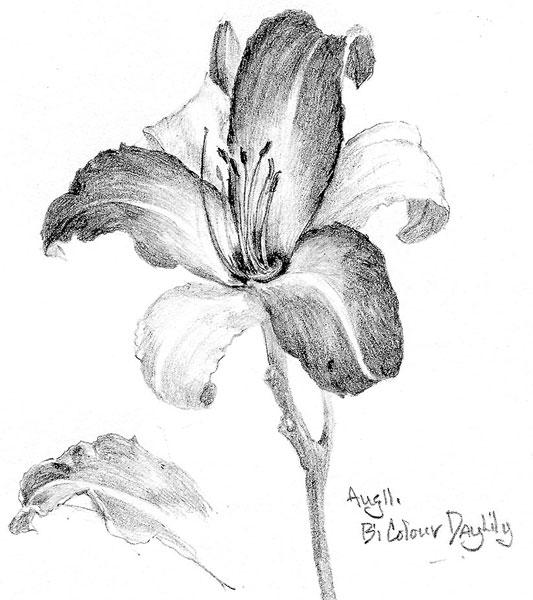 Bicolour-Daylily-2.jpg