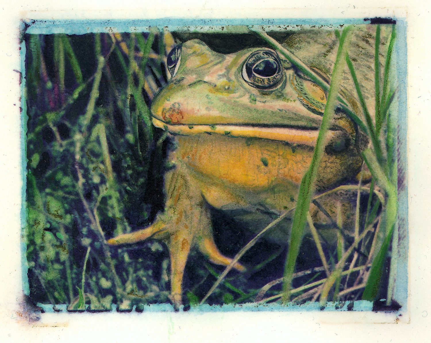 Bullfrog Looking Left