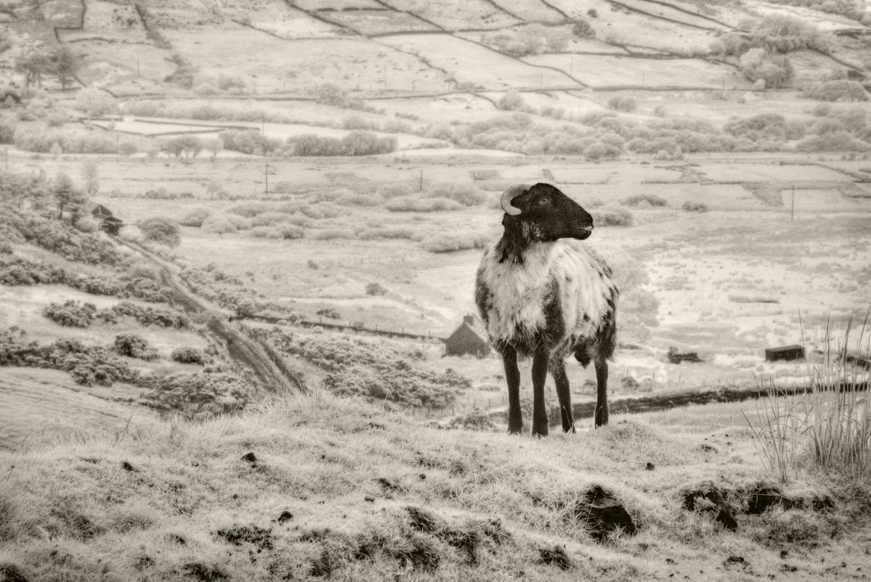 Lone Sheep, Connemara