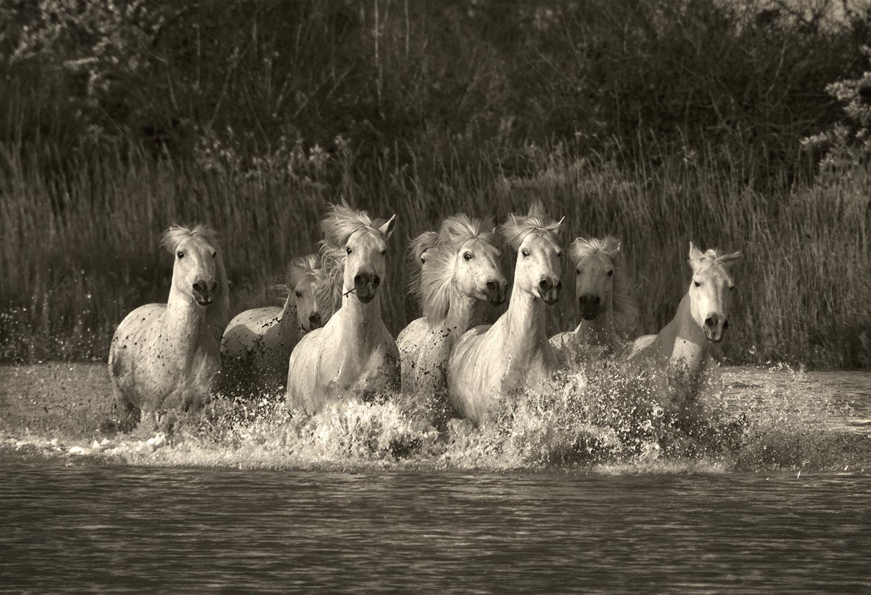 Galloping through the Marsh, Camargue