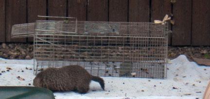 Groundhog eating mulberries