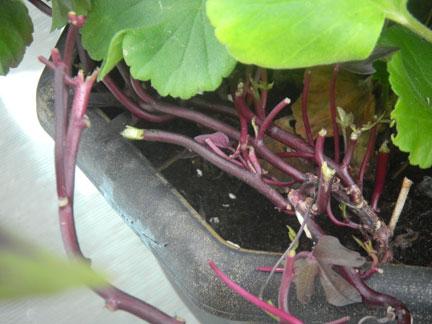 Sweet potato vine eaten down to the stub.