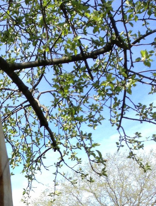 Apple tree, New Buffalo, MI, 2013