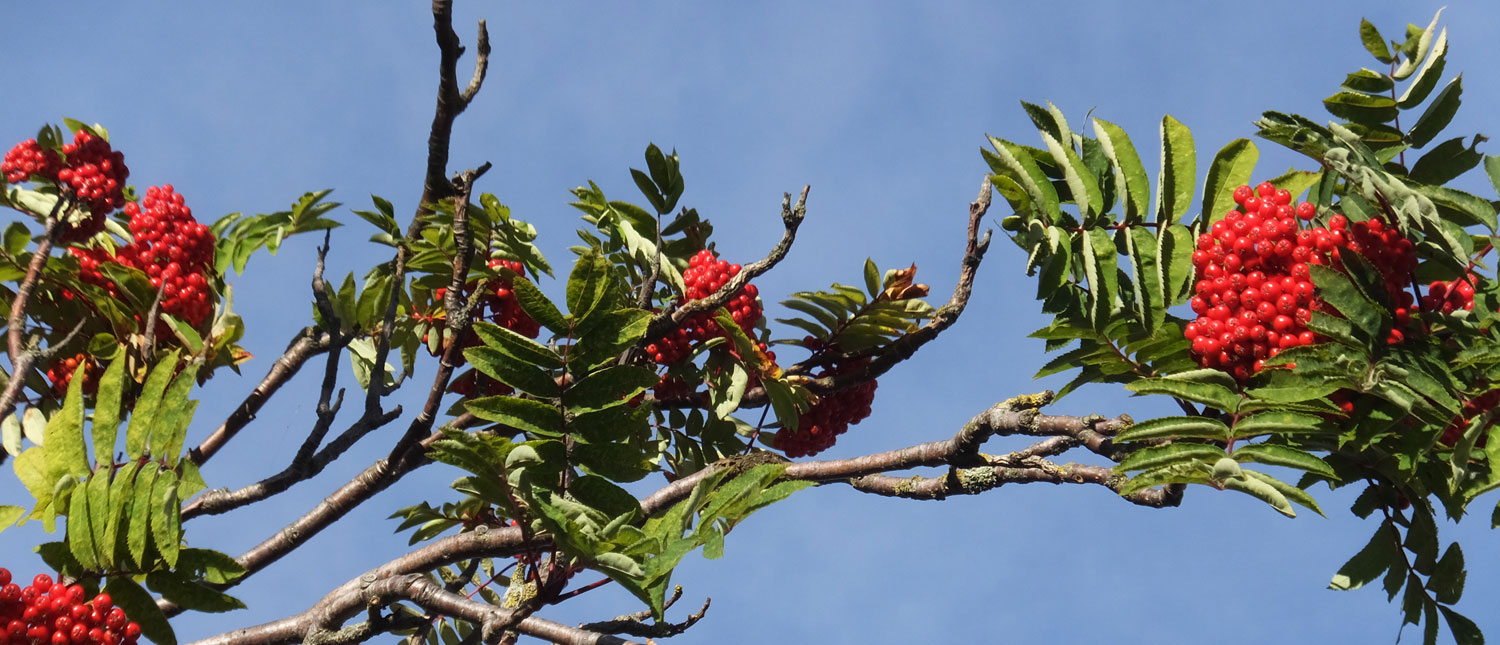 The lovely bright red berries of the Rowan tree.