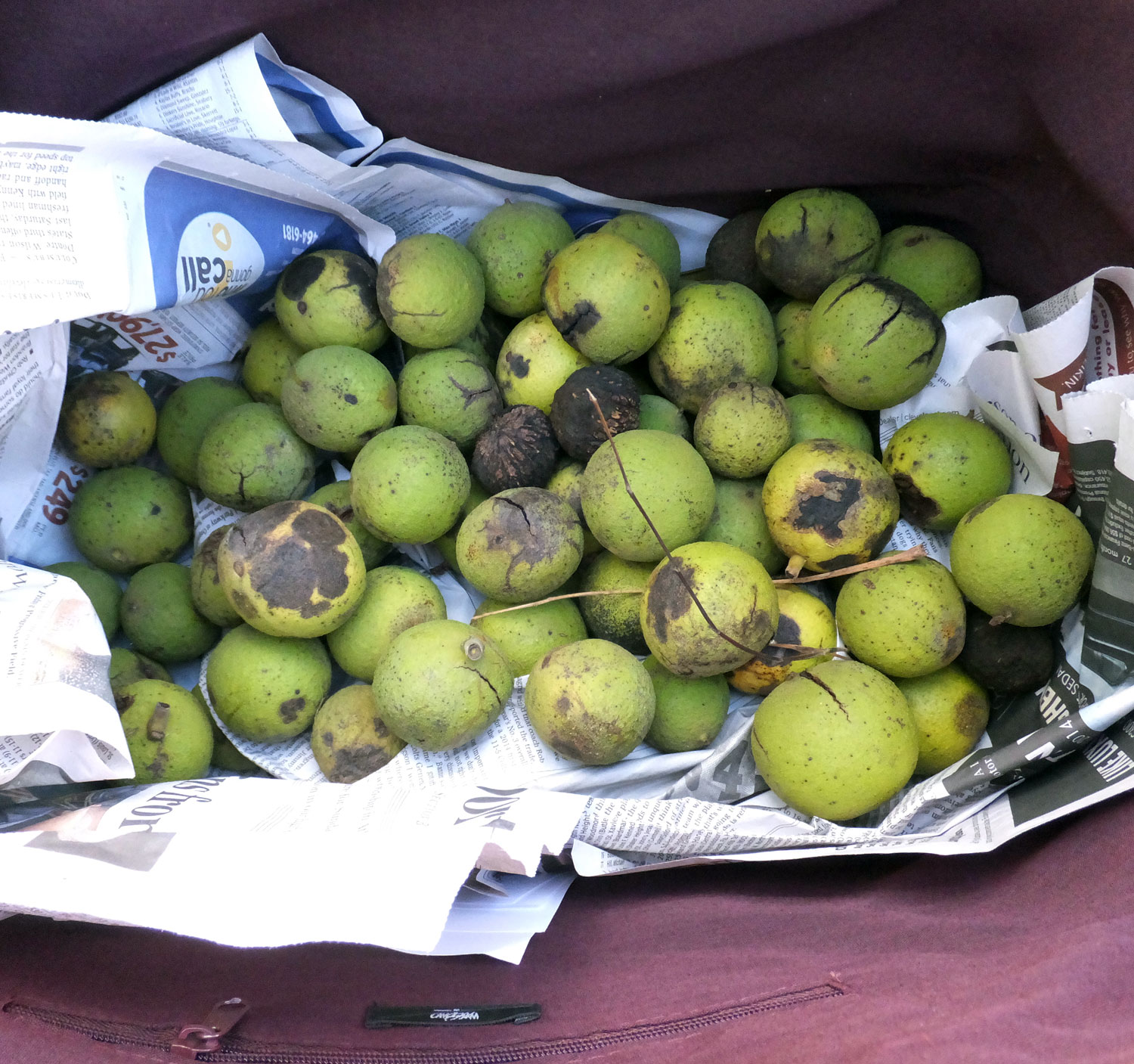 Black Walnuts in my bag