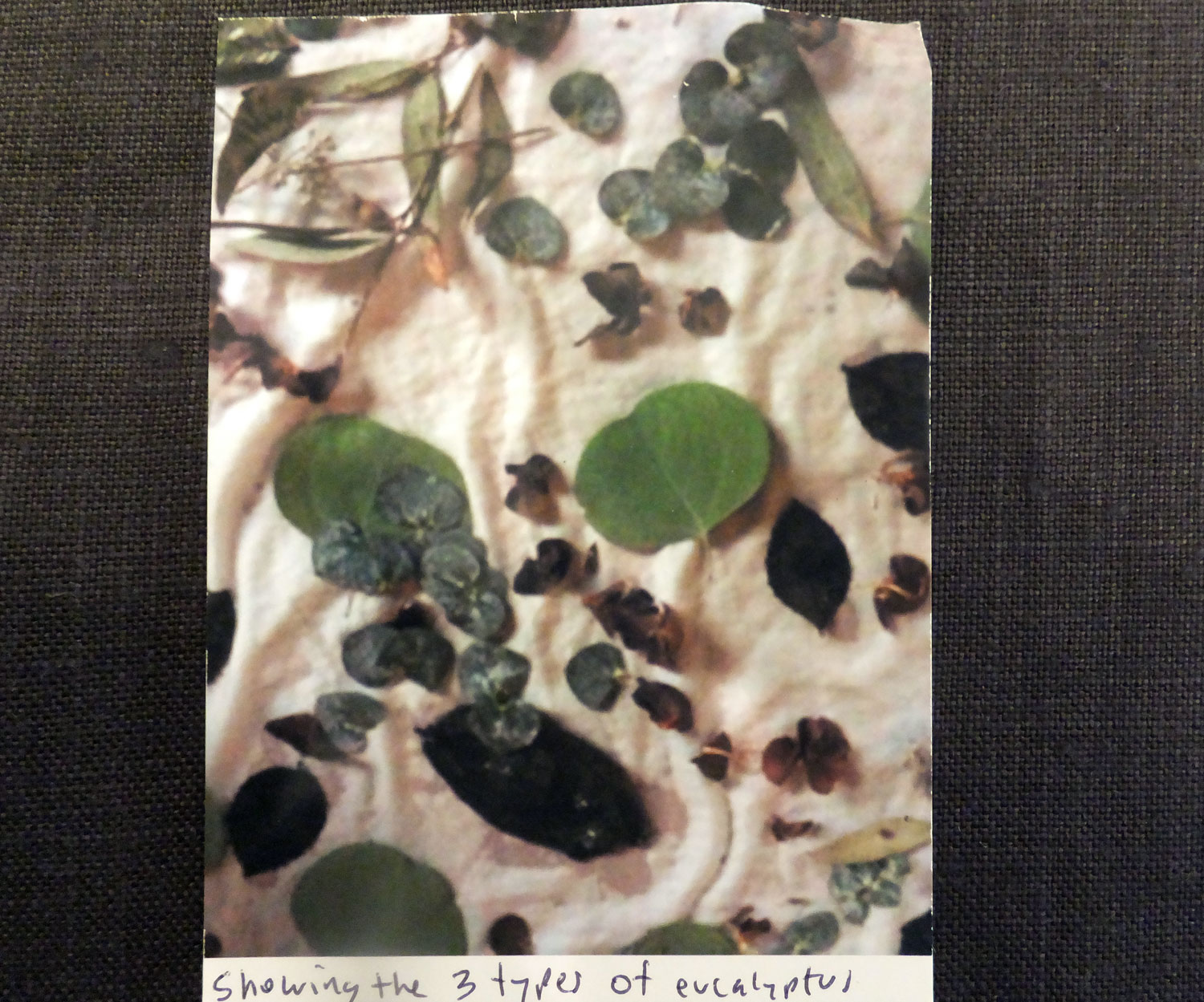 Picture of the Photograph Ruth sent to me showing the different types of eucalyptus she used.