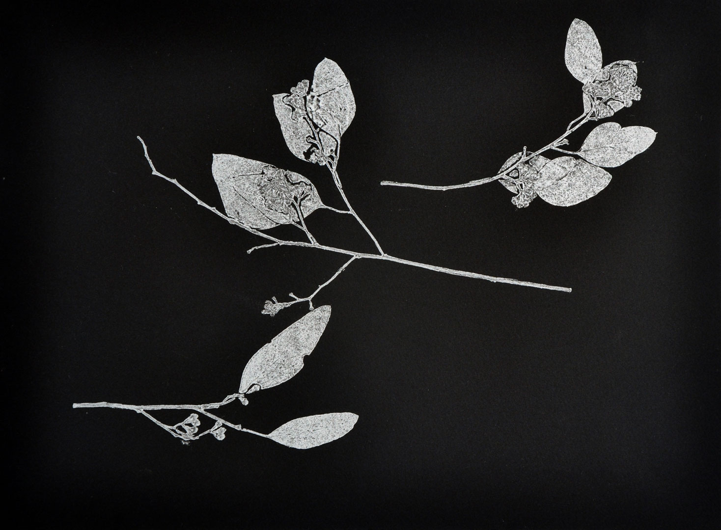 """Monotype, 2014, Christine Mauersberger dried and flattened seeded eucalyptus, silver ink, black somerset paper. 15"""" x 11"""""""