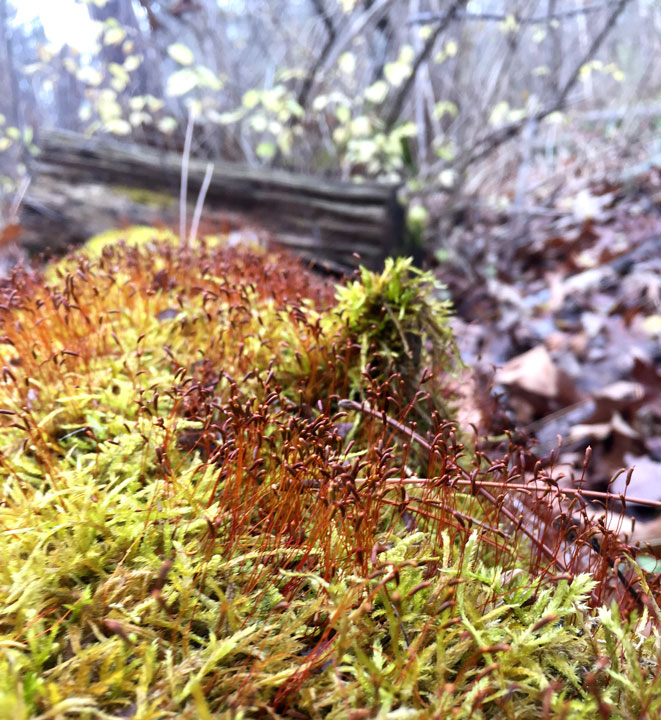Detail of moss in the Cleveland Metroparks in mid December.