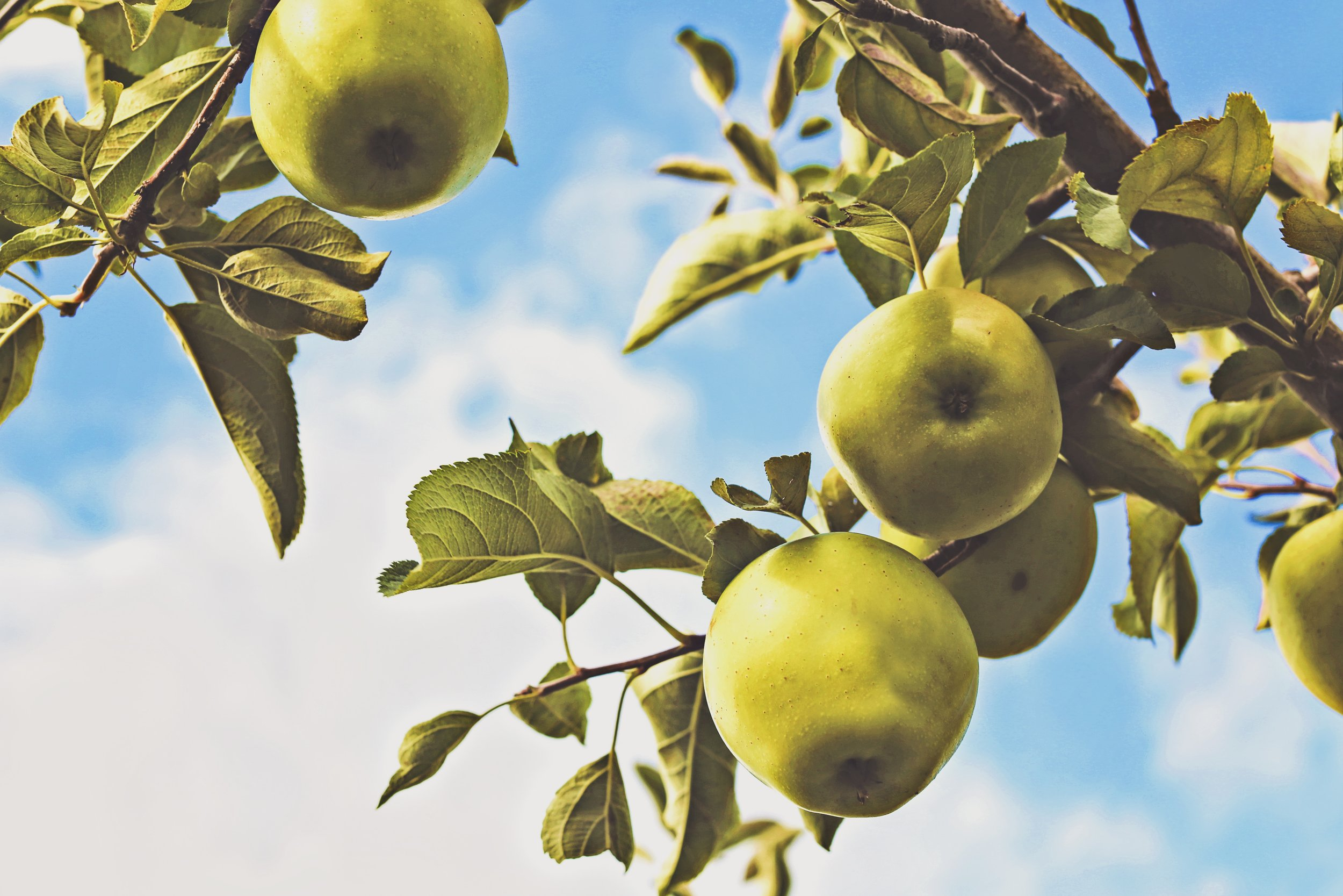green apples dangling from the tree on a background of blue sky with white puffy clouds