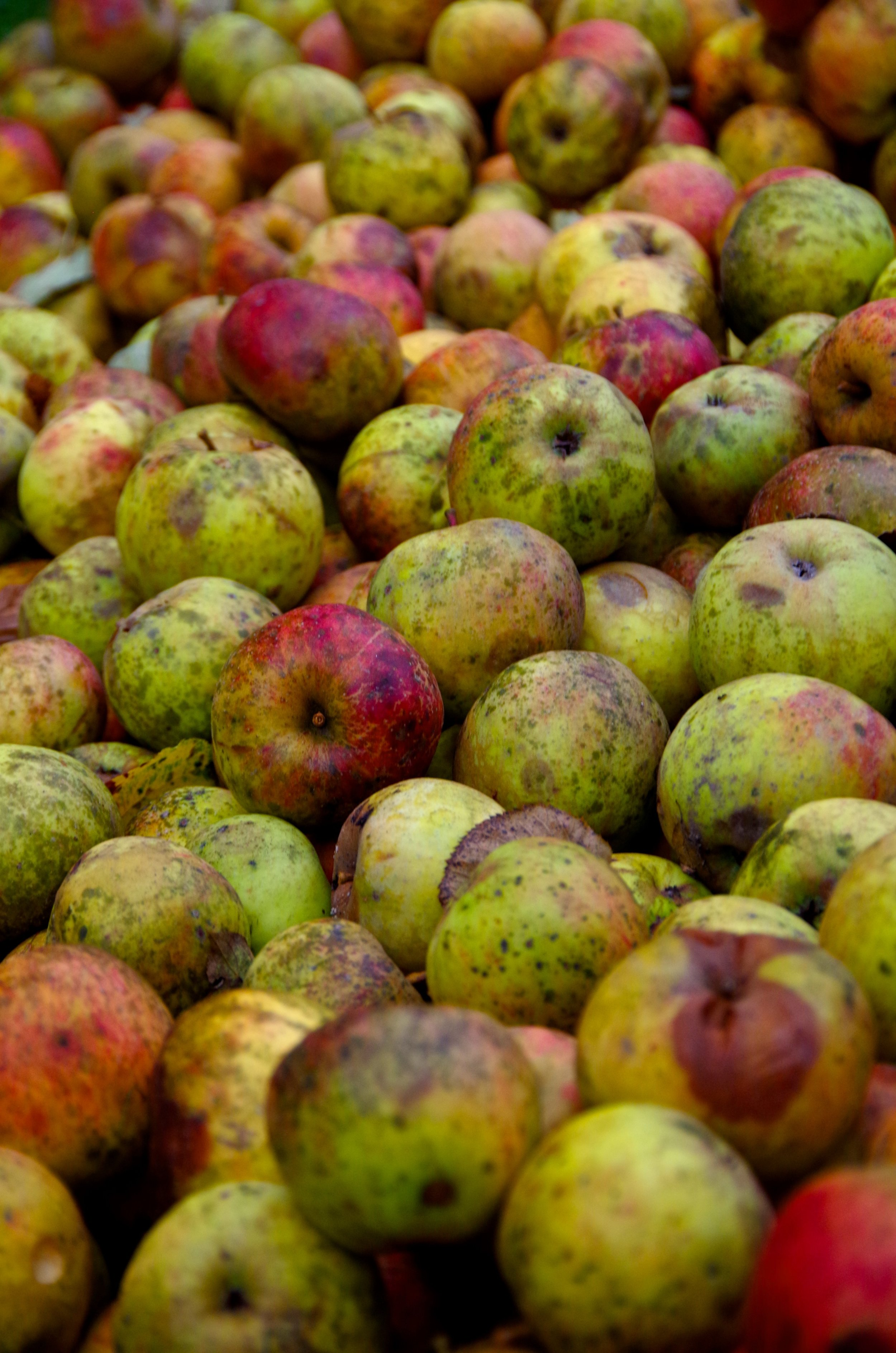 apples with physical imperfections like those of this mixed bin sometimes make the best cider