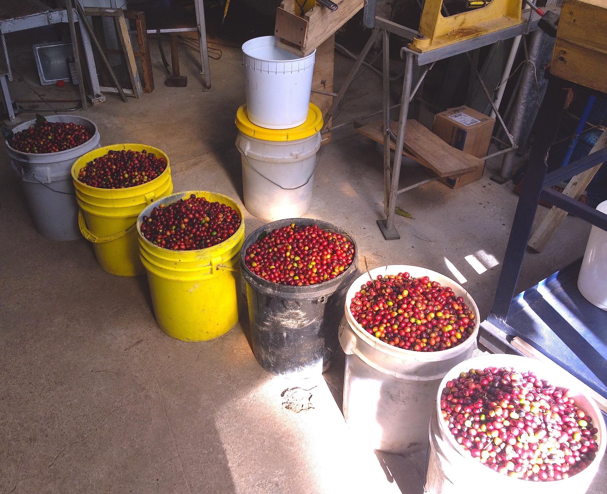 Coffee cherries 2011