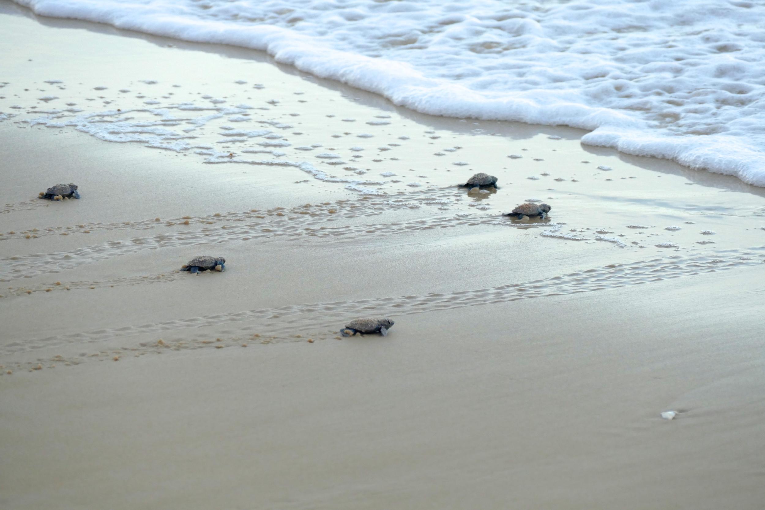 Bébés Tortues Luths Praia da Cacimbinha