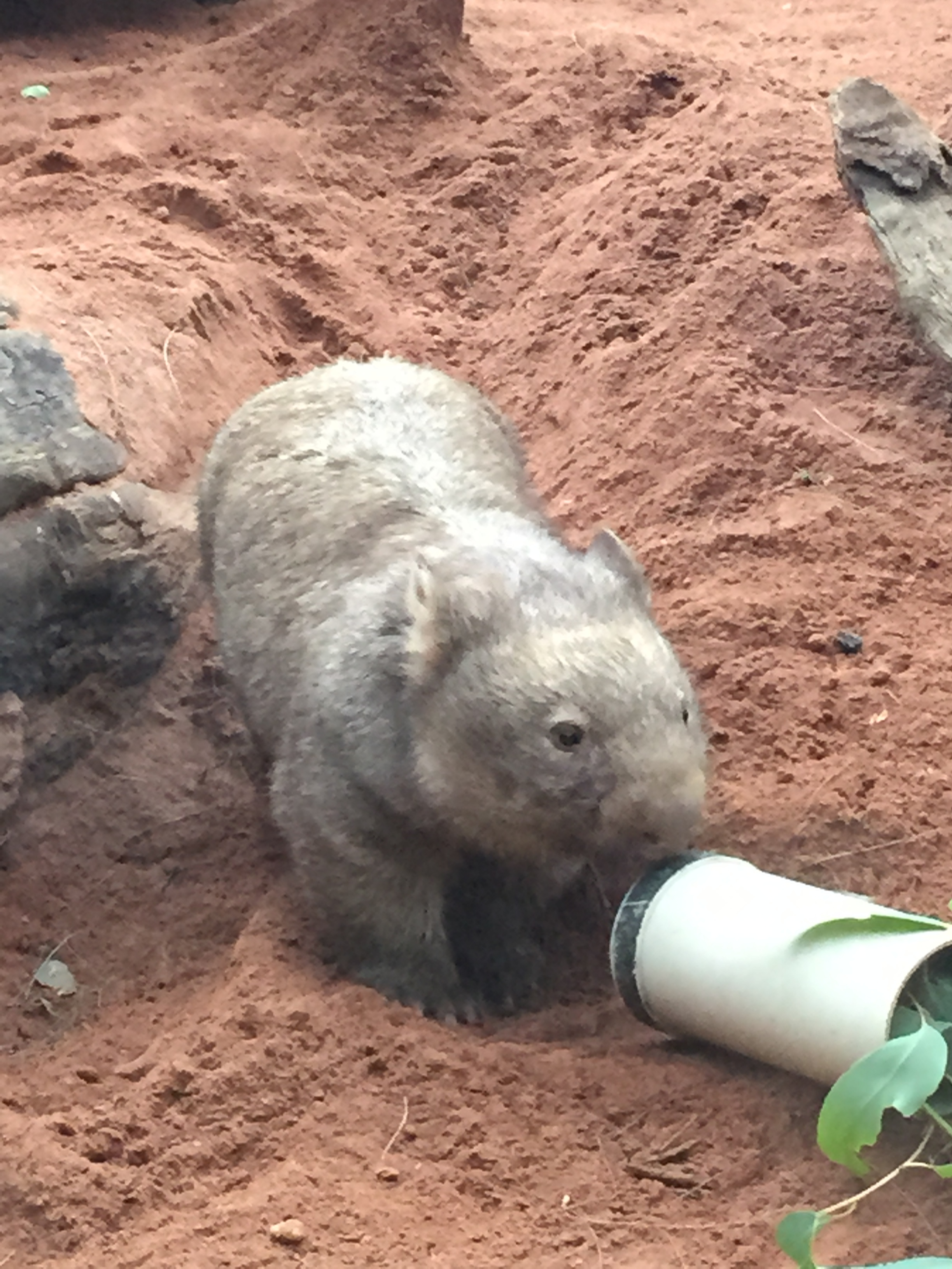 Wombat. Wombats are pretty awesome.