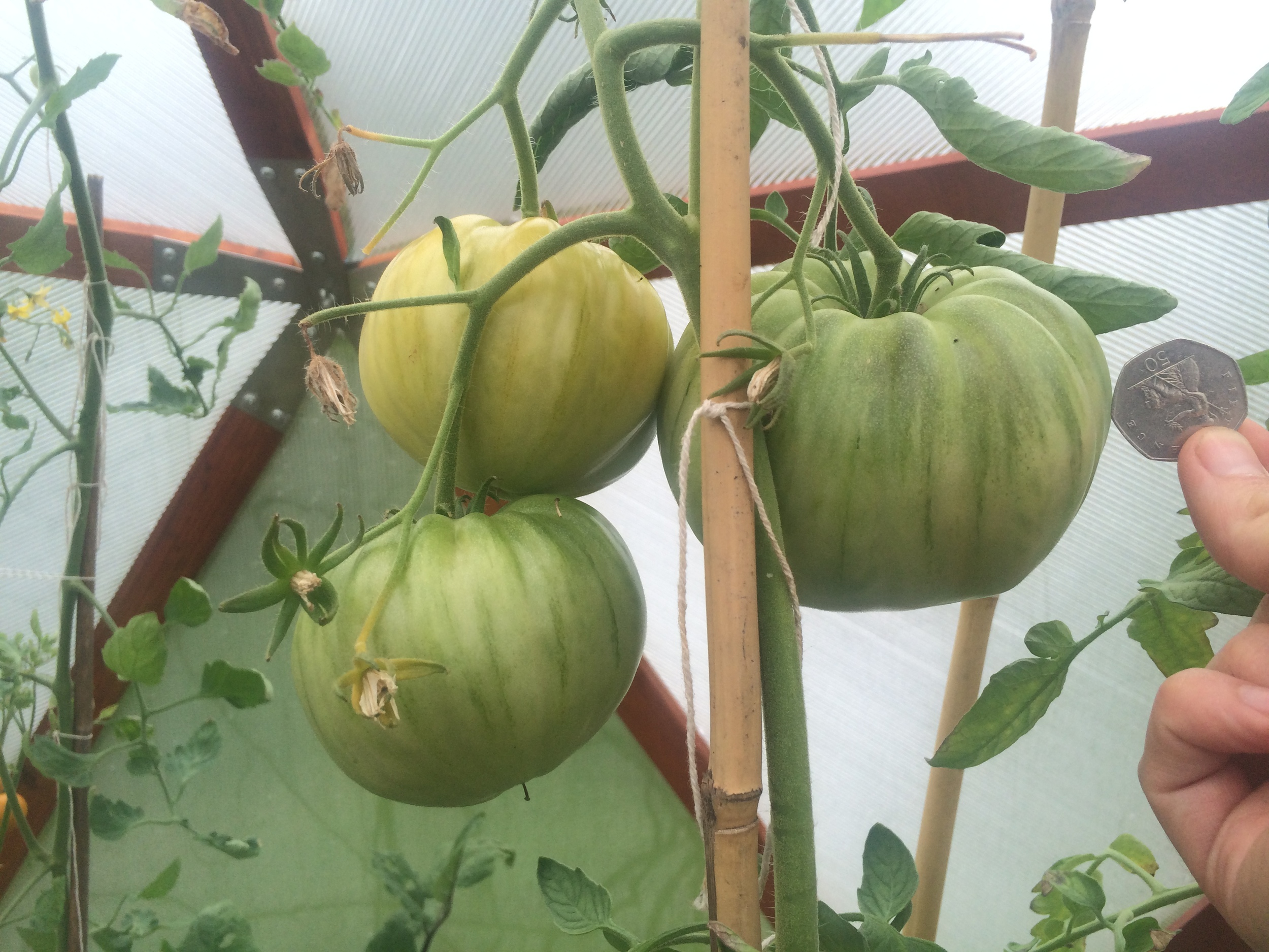 With a dome you can grow tomatoes as big as your fist!