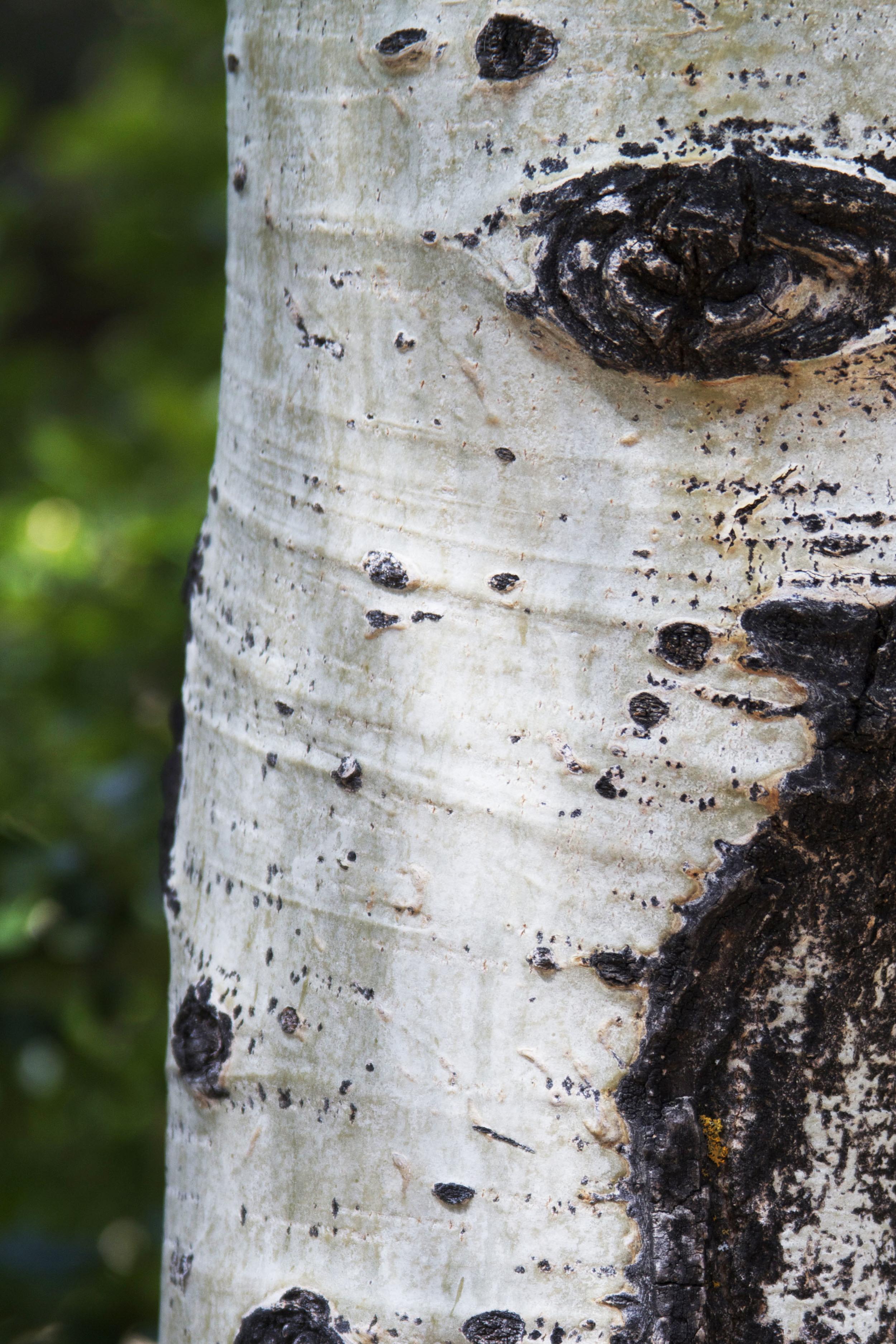 aspen tree.jpg