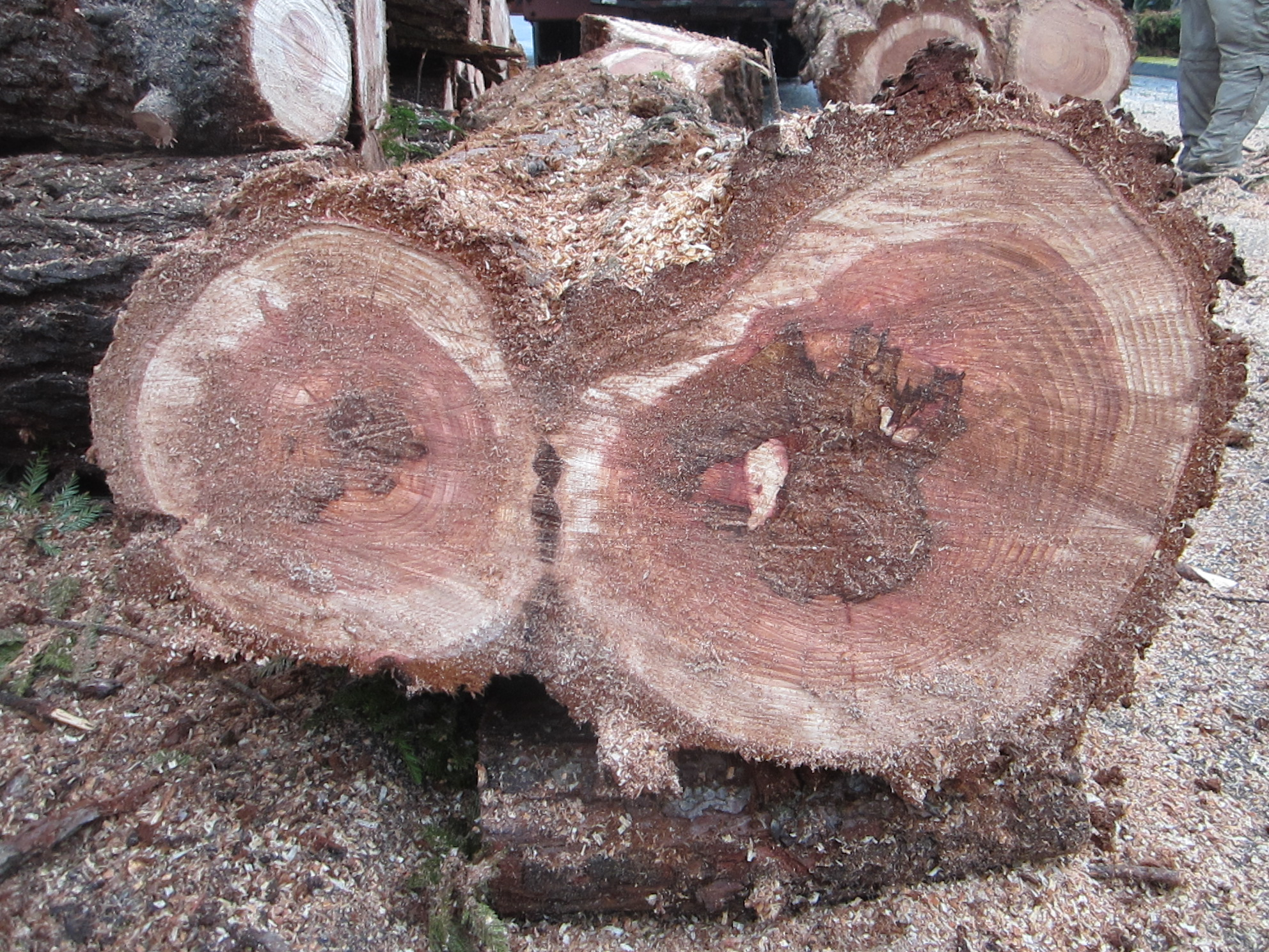Brown spongy root rot being walled off in costal redwood
