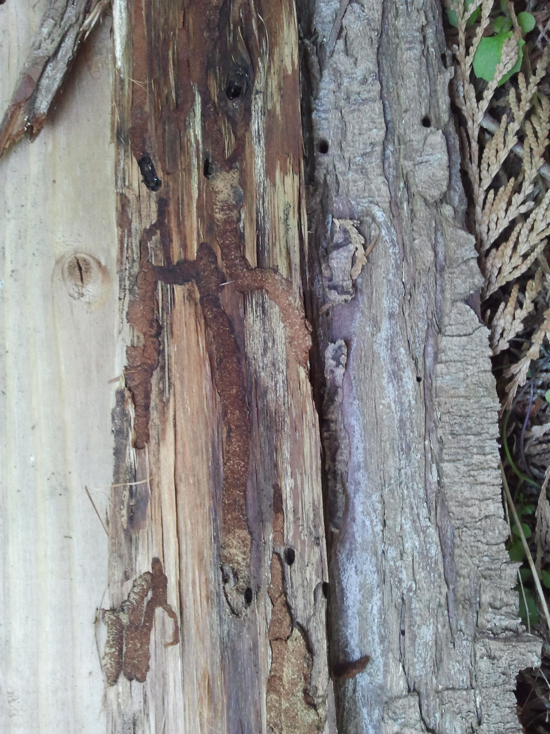 Bark beetle entry holes and galleries