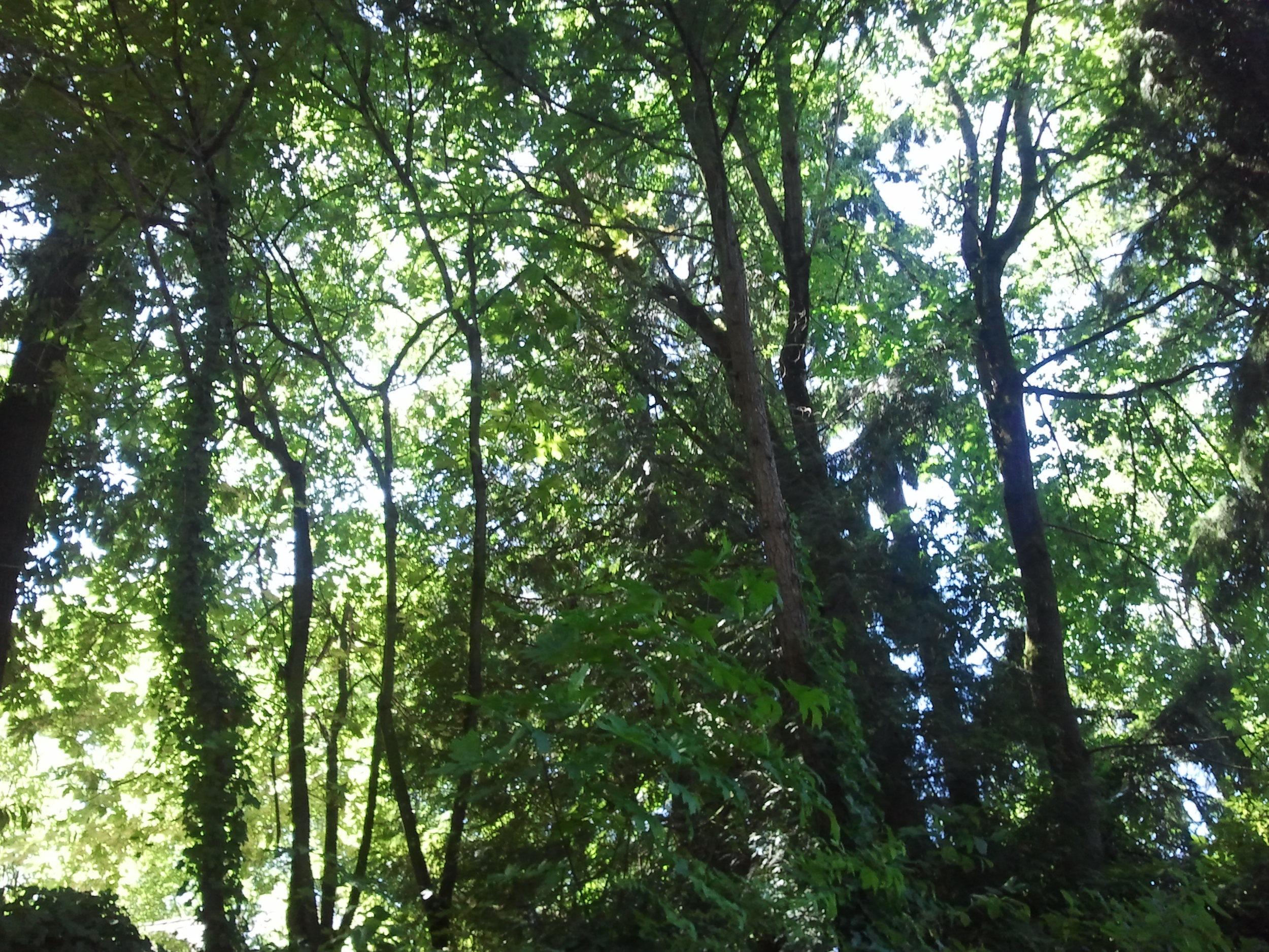 Ivy invaded forest in Bellevue, Washington
