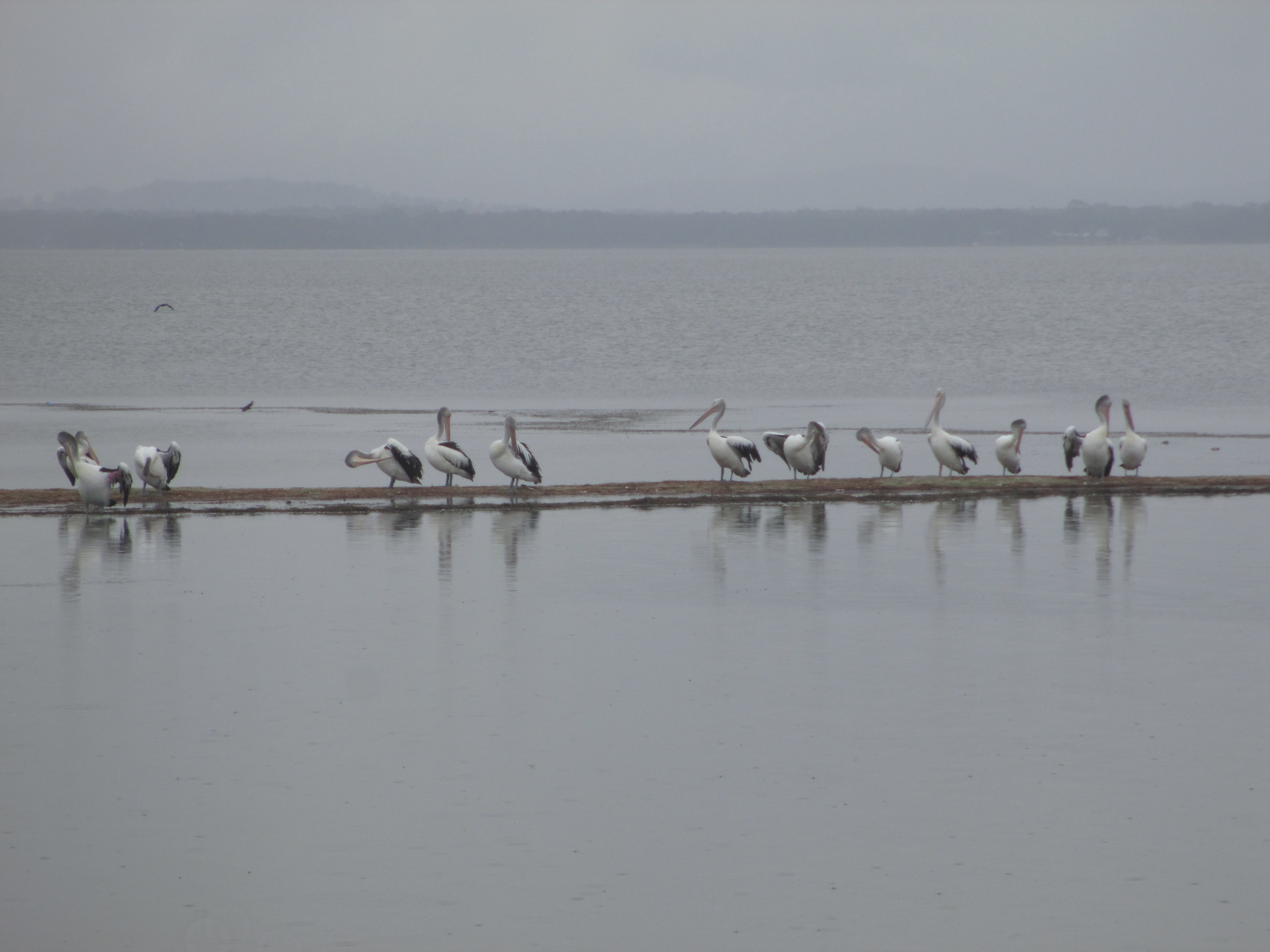 Pelican's on the spit near The Entrance, NSW Australia