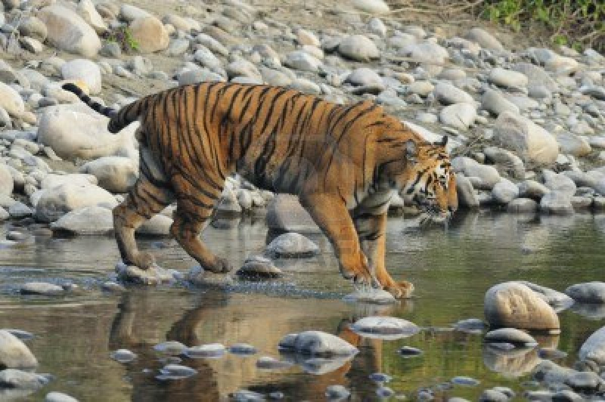 11722675-bengal-tiger-seen-in-corbett-national-park-india.jpg