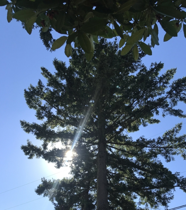 Looking up in our front yard.