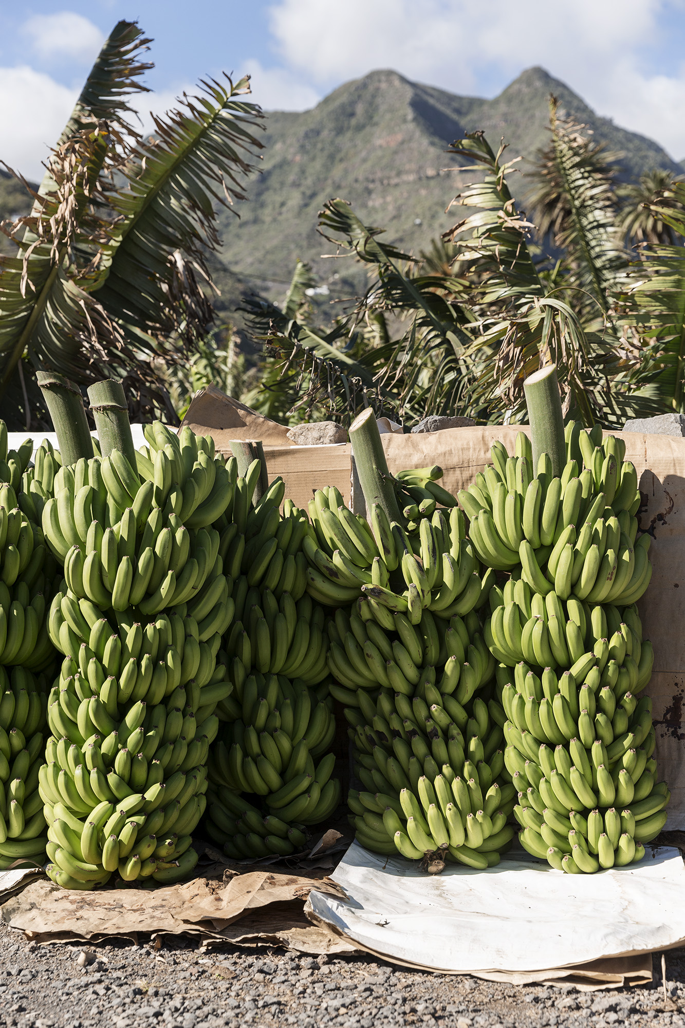 Banana in La Gomera in the Canary Islands by Rebecca Stumpf, Colorado Lifestyle Travel Food Editorial and Commercial Photographer