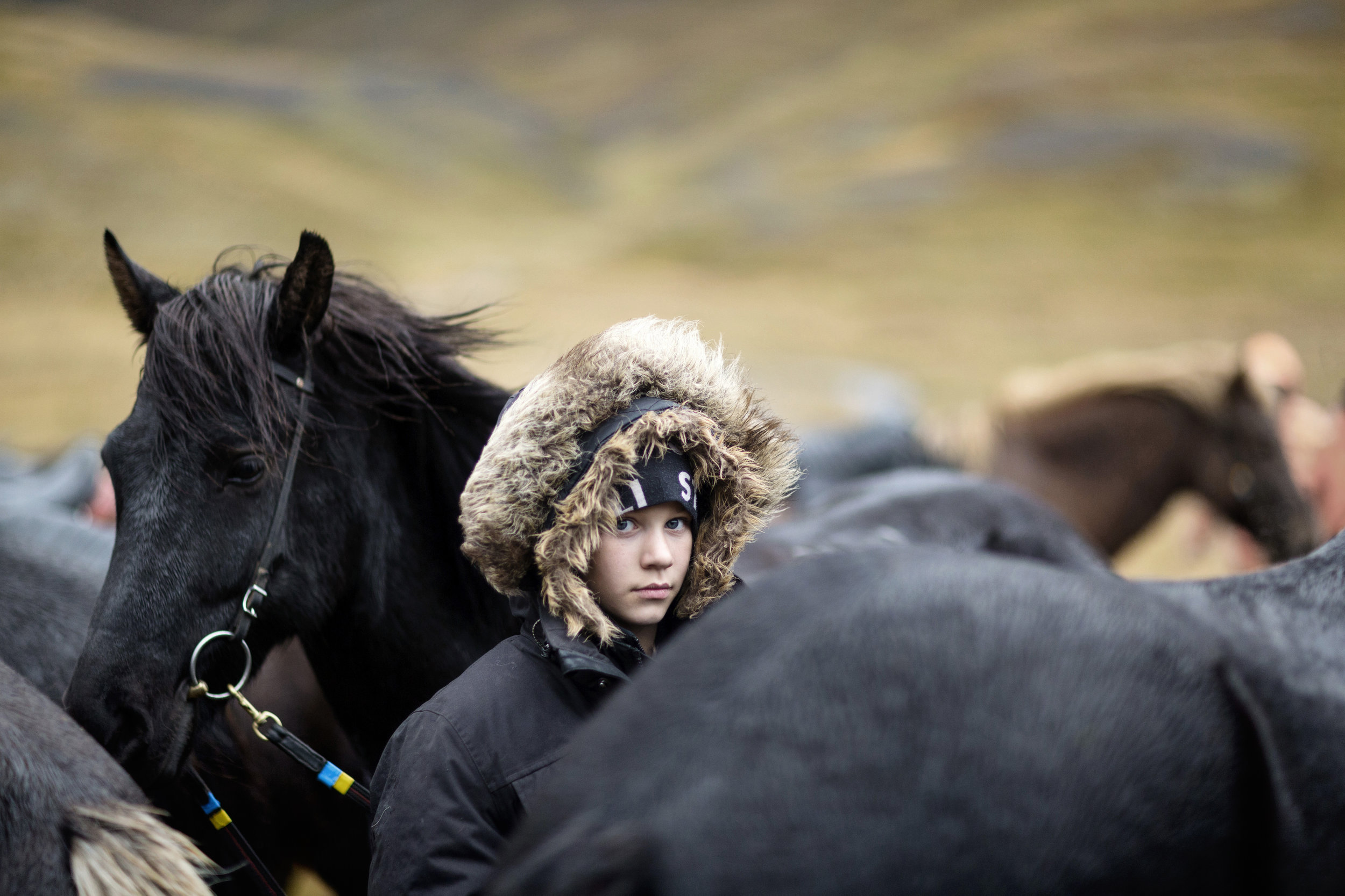 Northern Iceland - September 11th 2017:  A young local girl waits with her horses before the start of the round-up. Icelandic horses are the backbone and emblem of many northern Icelandic communities. This is for a travel story on Iceland's sheep roundup.