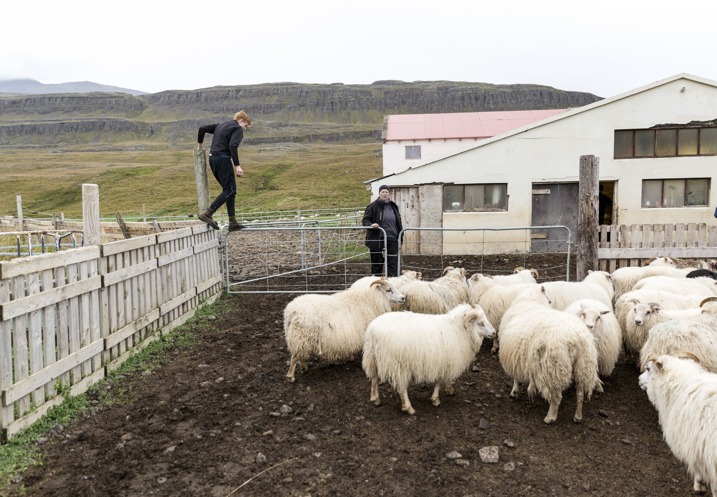Iceland, Starrastaðir- September 11th 2017:  Mother and Son, Sara Reykdal and Úlfar Hörður Sveinsson, take inventory on the sheep that they rounded up for the winter at their farm, Starrastaðir. This is for a travel story on Iceland's sheep roundup.