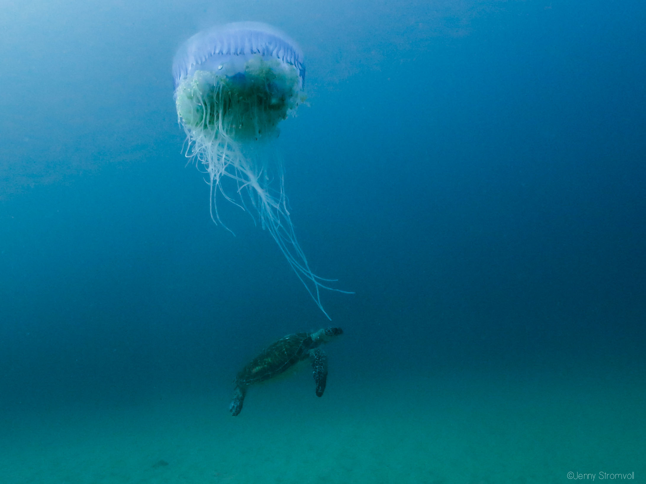 turtles' love for jellyfish puts them at risk from plastic pollution -- floating bags look very much like their jellyfish prey but are indigestible and block their digestive tracts with predictably bad results