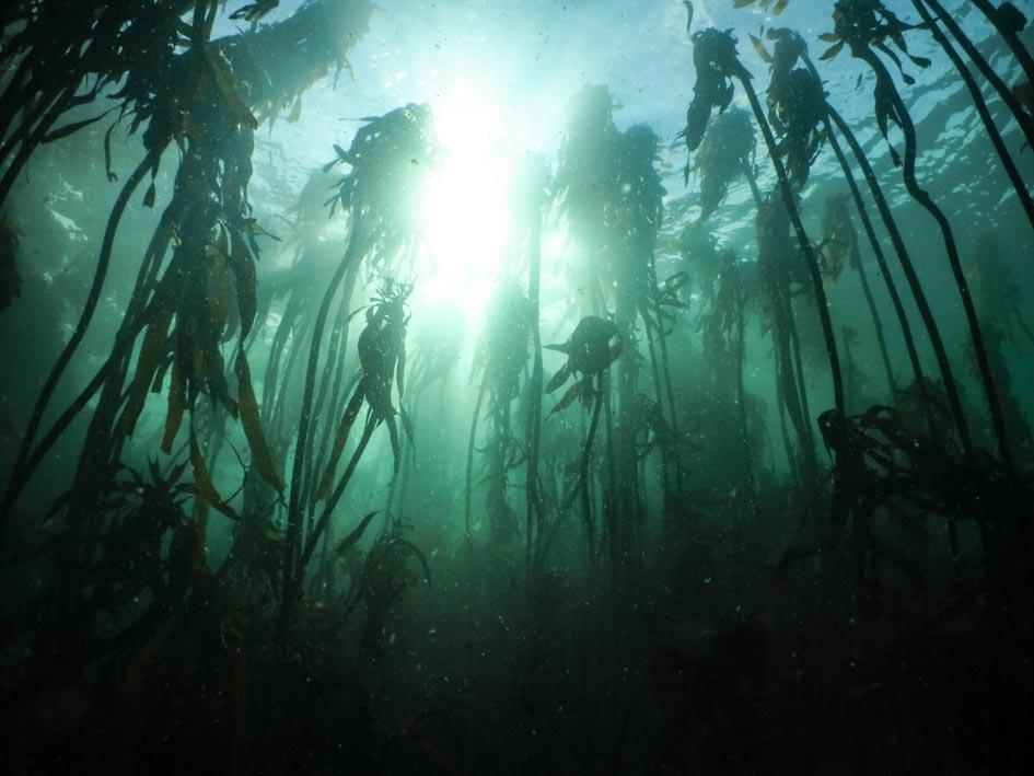 a dreamy kelp forest shot