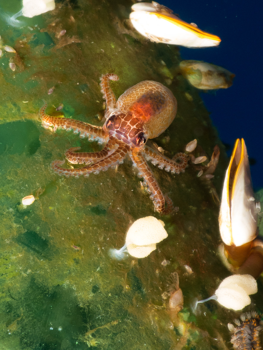 a tiny octopus, either a juvenile or possibly the parent of the octopus egg cluster