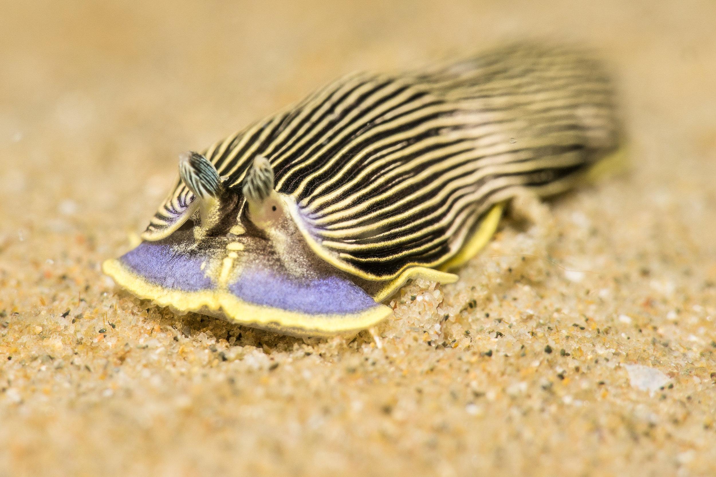this is the nudibranch Armina sp.13 a sea pen predator