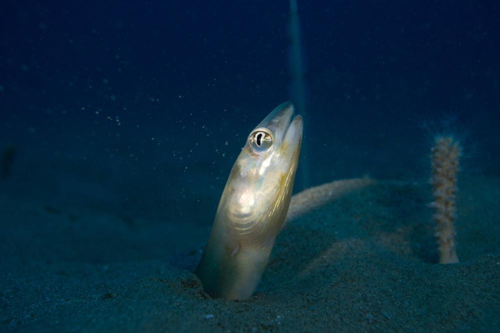 scheele's conger eel