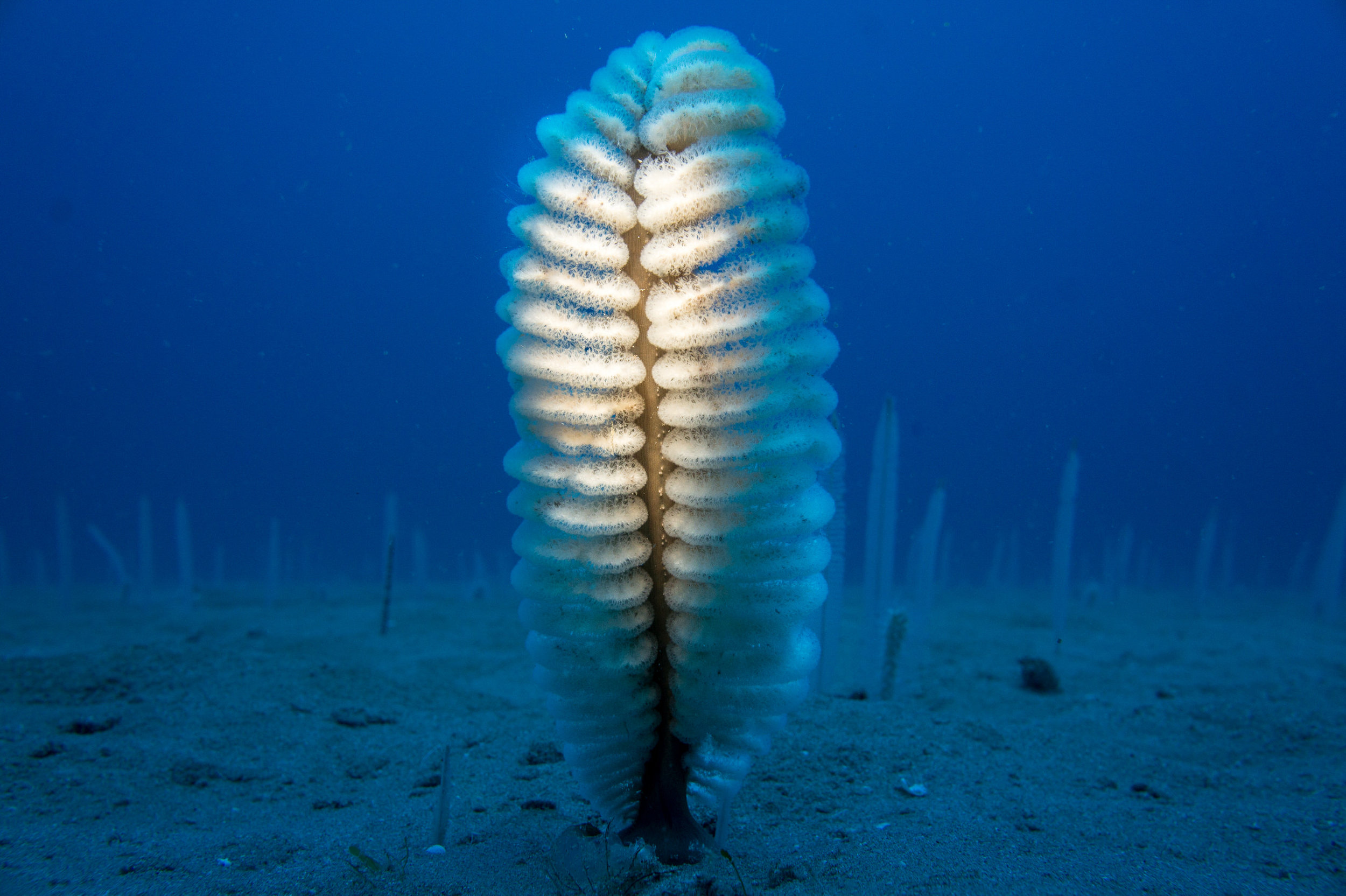 Sea pens may be the most common animals on the sea bed.