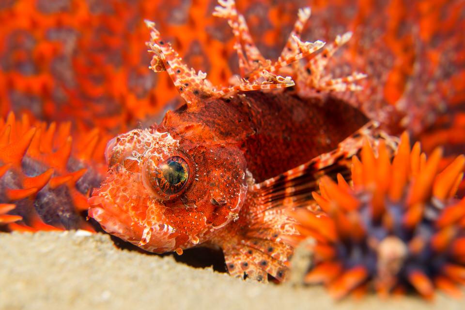 dwarf lion fish