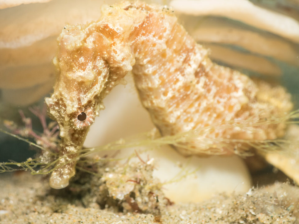 african short snout sea horse