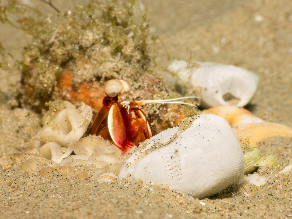 unknown mantis shrimp