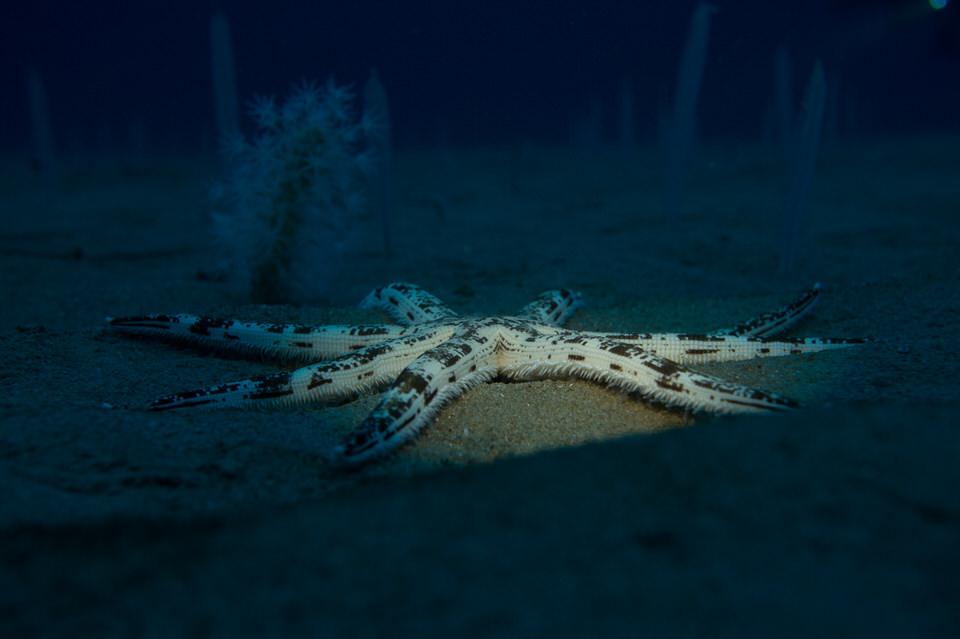 spiked starfish