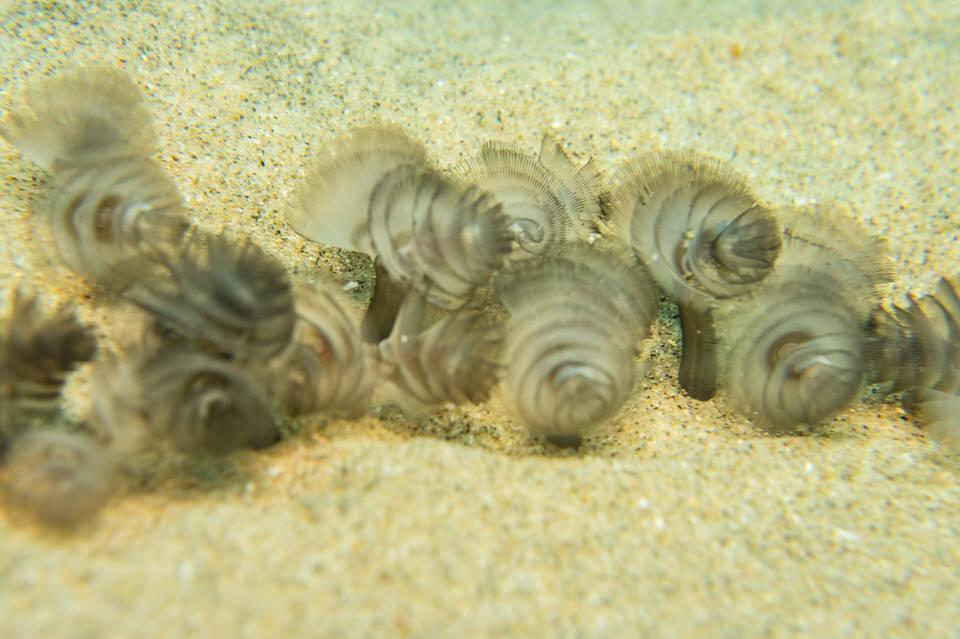 phoronid worms
